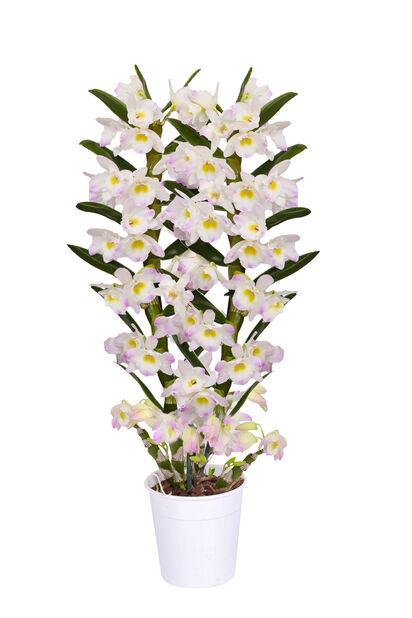 Dendrobium nobile 'Kumiko', Høyde 40 cm, Flerfarget