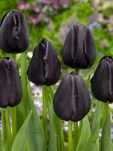 Tulipan 'Queen Of Night', Lilla