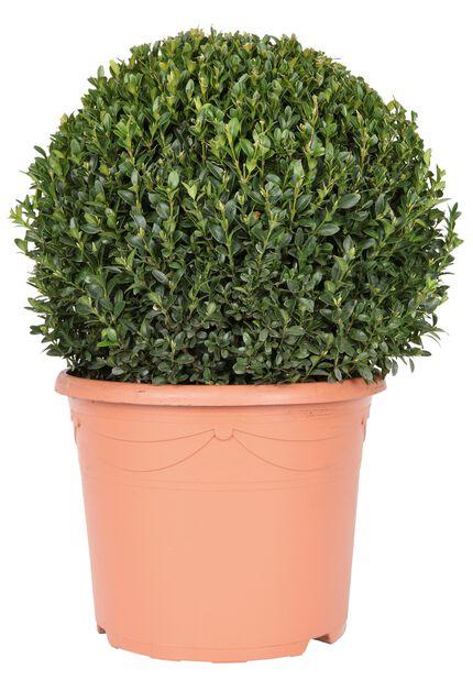 Europabuksbom kule, Ø19 cm, Grønn