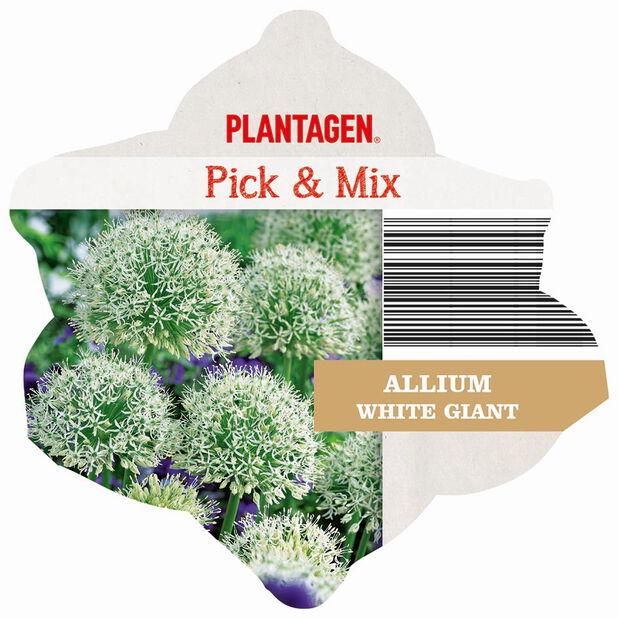 Allium 'White Giant', Flerfarget
