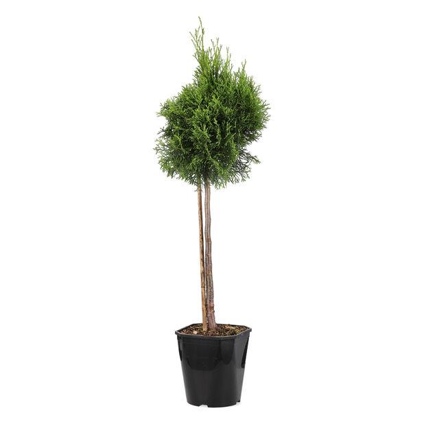 Tuja 'Atrovirens' oppstammet, Høyde 50-70 cm, Grønn