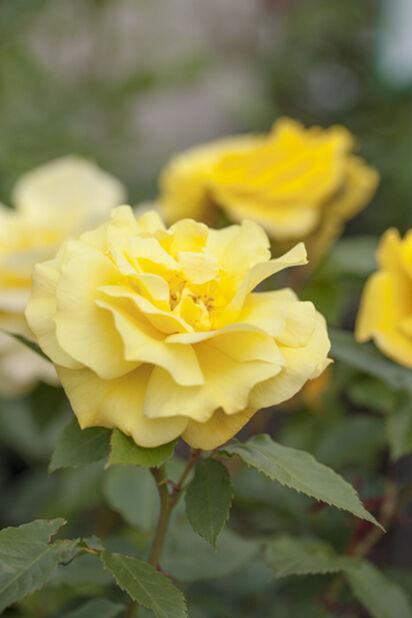 Rose 'Friesia', Høyde 20 cm, Gul