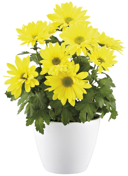 Krysantemum Påske12 cm