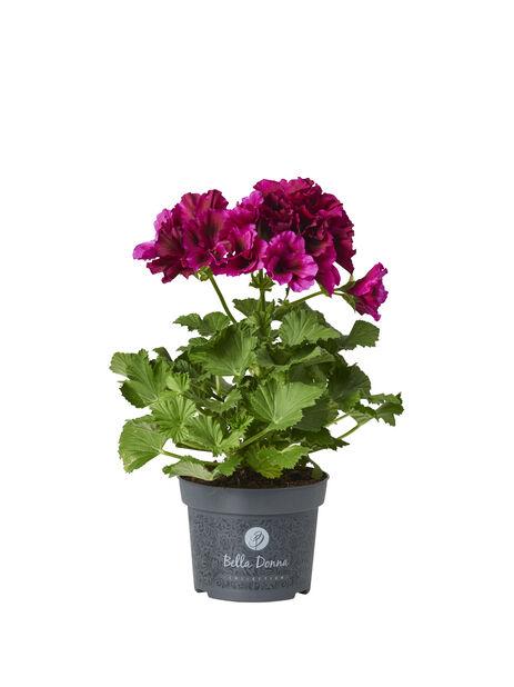 Engelsk pelargonia 12 cm Mørk lilla