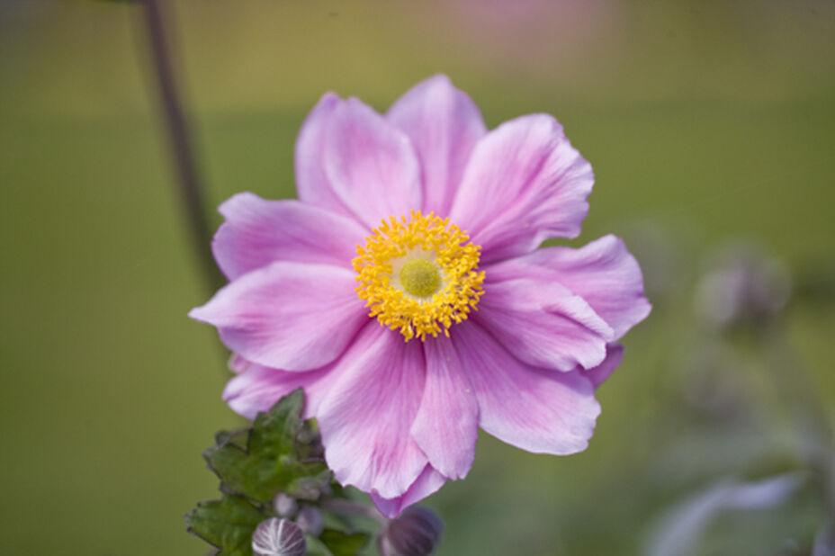 Anemone 'Serenade' , Ø17 cm, Rosa