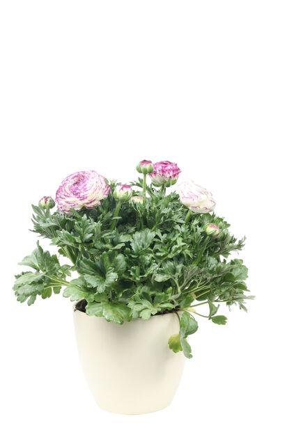 Ranunkel 'Maché Vanilla Rose', Ø19 cm, Flere farger