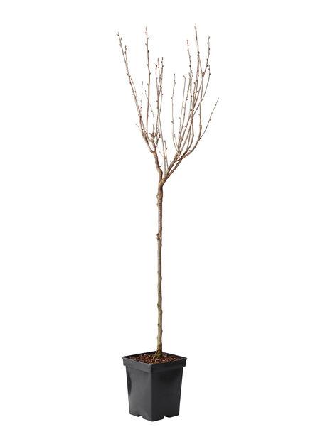 Jostabær oppstammet, Høyde 60 cm, Svart
