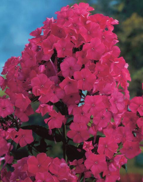 Høstfloks, Ø11 cm, Rød