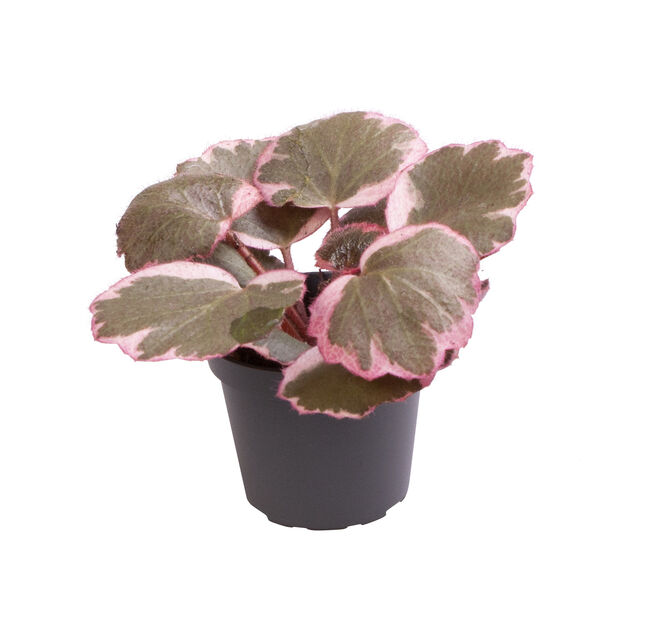 Saxifraga variegata , Høyde 10 cm, Flerfarget
