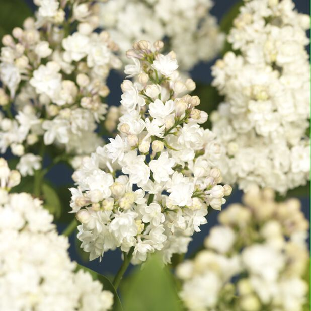 Syringa vulgaris Mme. Lemoine 40-60 4,5L white