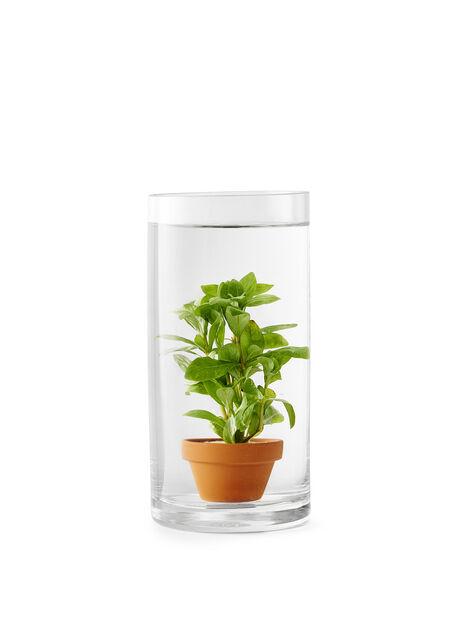 Vannplante Lysimachia 9 cm