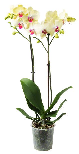 Orkidé, Ø12 cm, Gul