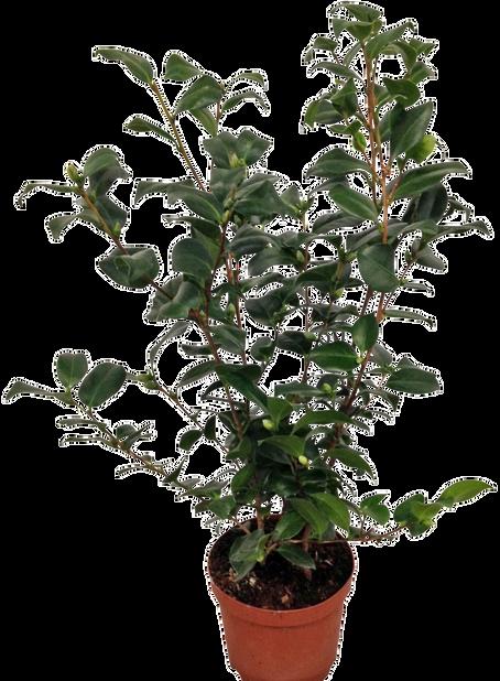 Kamelia, Ø19 cm, Flere farger