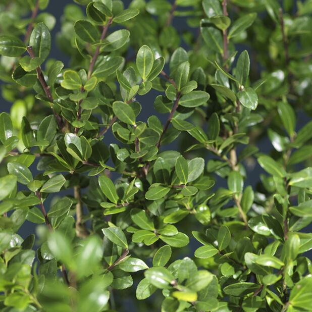 Japansk kristtorn, Høyde 25 cm, Grønn