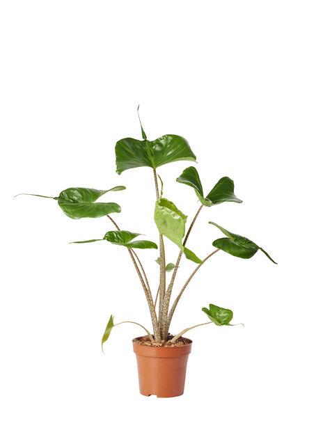 Alocasia 'Stingray' 12 cm