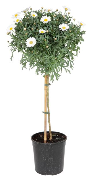 Margeritt, Ø19 cm, Hvit