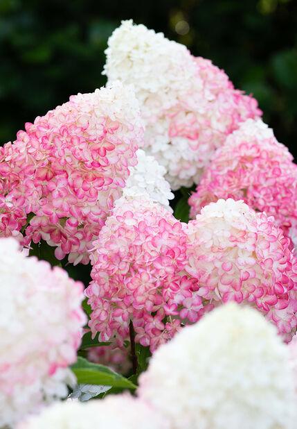 Syrinhortensia 'Living Pink and Rose', Ø23 cm, Rosa