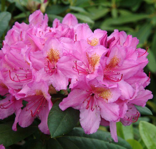 Parkrododendron 'Delta', Ø23 cm, Rosa