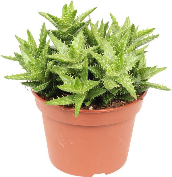 Aloe 'Squarrosa' , Høyde 25 cm, Grønn