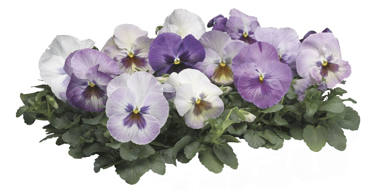 Stemor 'Delta Purple Surprise' 6-pk