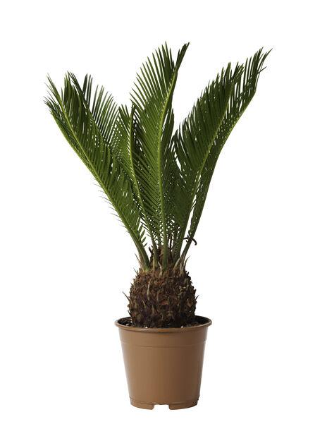 Konglepalme , Høyde 45 cm, Grønn
