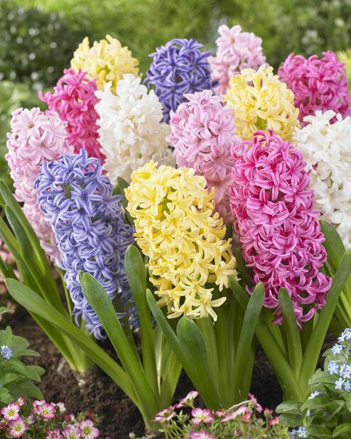 Hyacinthus miks