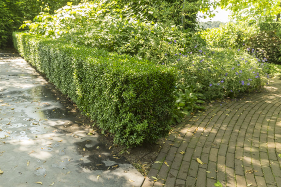 Europabuksbom, Høyde 25 cm, Grønn