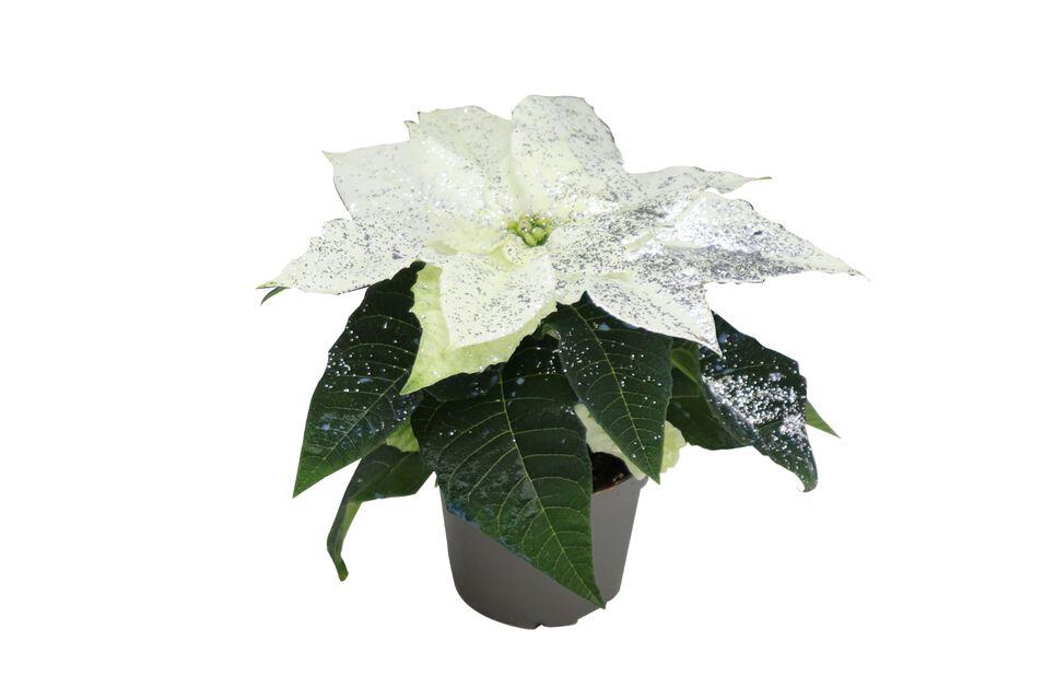Julestjerne mini med glitter, Høyde 8 cm, Hvit