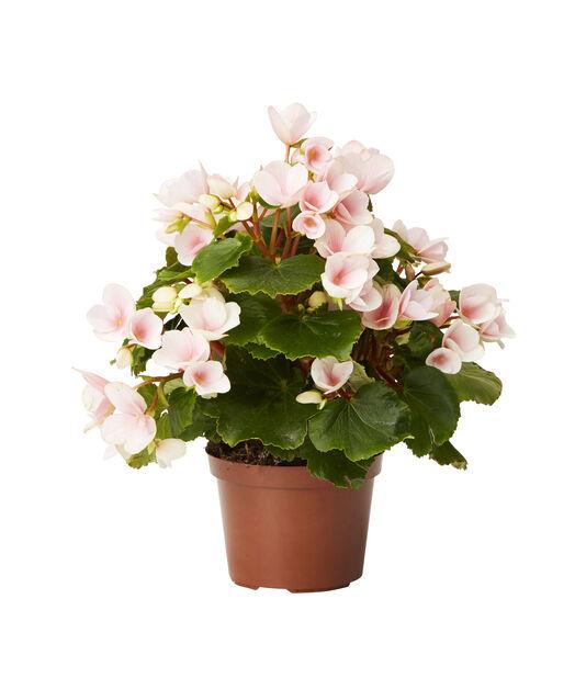 Begonia, Høyde 25 cm, Rosa