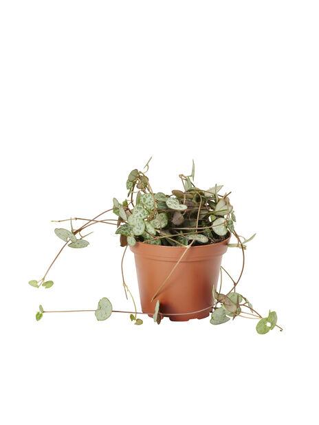 Marmorplante 9 cm