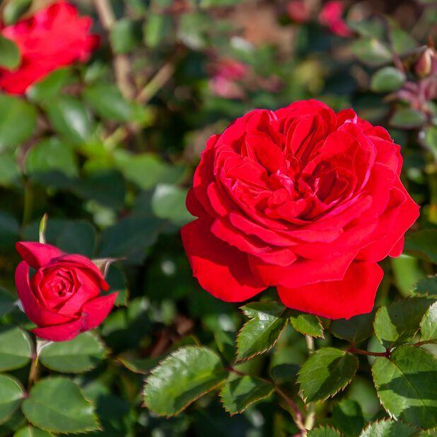 Klaserose 'Zepeti', Ø21 cm, Rød