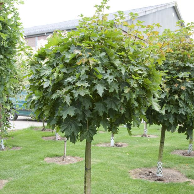 Kulelønn 'Globosum', Høyde 140 cm, Grønn
