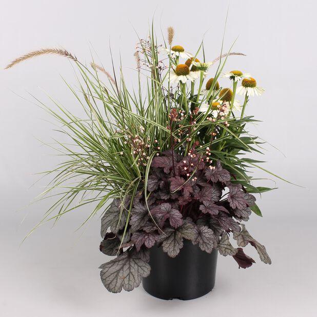 Perennials Triple Beauty, Høyde 70 cm, Flerfarget