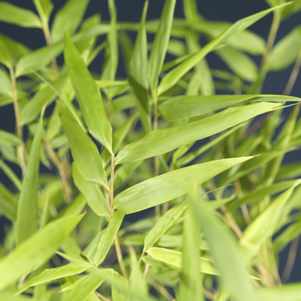 Gullrørbambus 'Rufa', Høyde 120 cm, Grønn