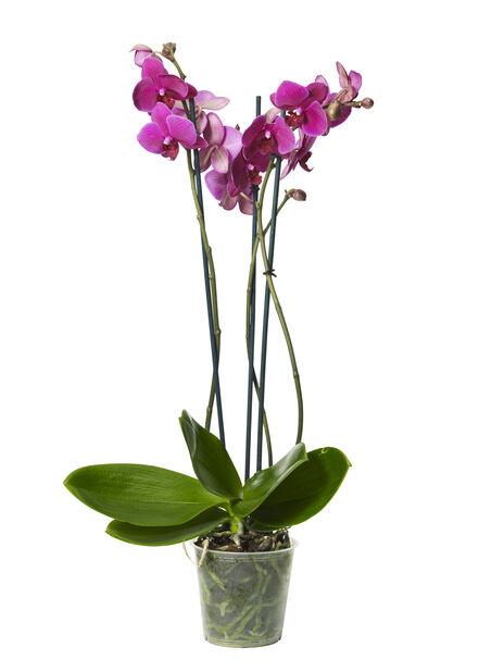 Brudeorkidé med +20 blomster, lilla