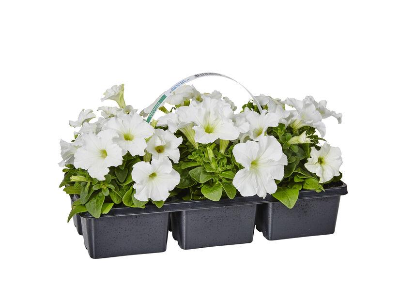 Petunia i 6 pakk hvit