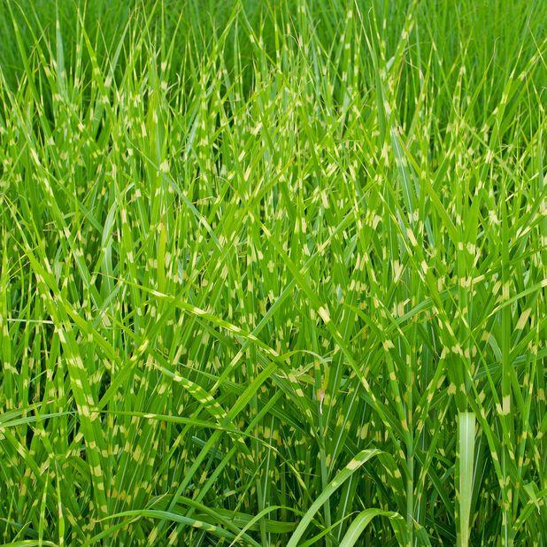 Silkekinagress 'Strictus', Ø19 cm, Grønn