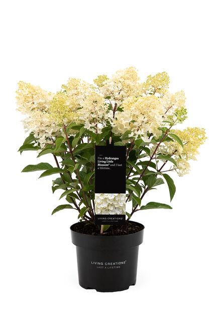 Syrinhortensia 'Living Little Blossom', Ø23 cm, Hvit