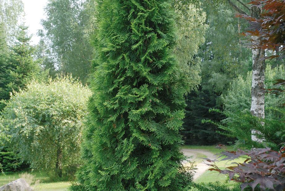 Tuja 'Smaragd' 80-100 cm