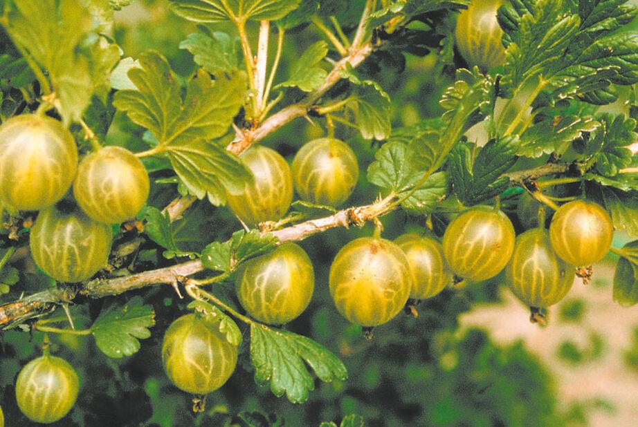 Stikkelsbær 'Invicta' 4,5L