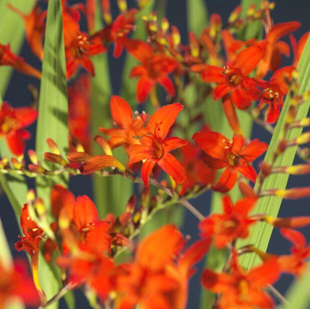 Vårhane 'Carmine Brilliant' , Ø19 cm, Oransje