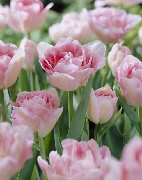 Tulipan 'Angelique', Flere farger