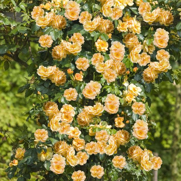 Rose på espalje, Høyde 50 cm, Gul