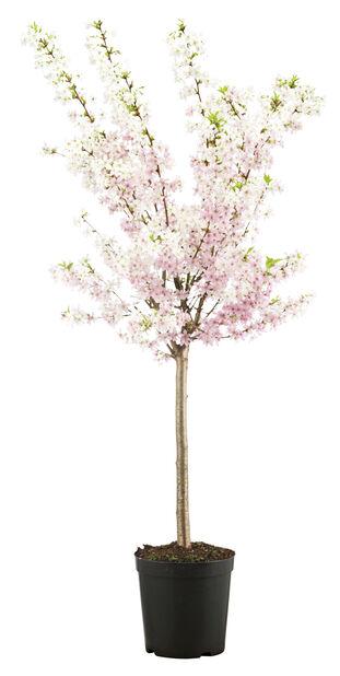 Nipponkirsebær 'Brilliant'