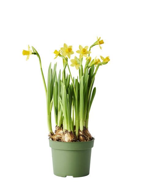 Narcissus Tete A Tete 12 Cm