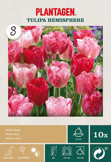 Tulipan 'Hemisphere', Rosa