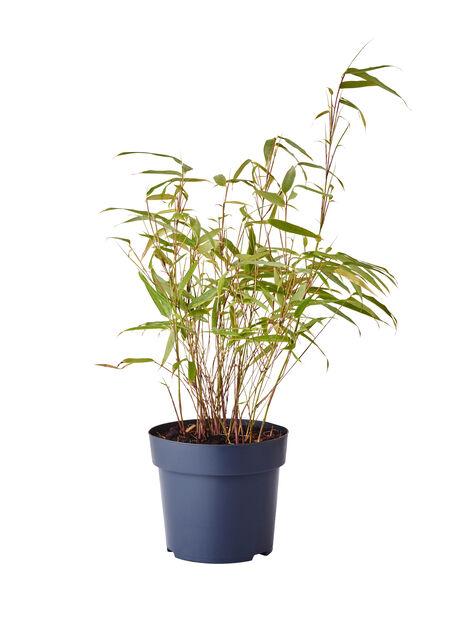 Gullrørbambus 'Rufa', Høyde 25 cm, Grønn