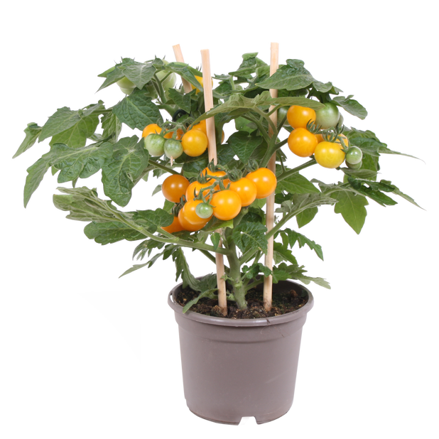 Cherrytomater, Ø14 cm, Gul