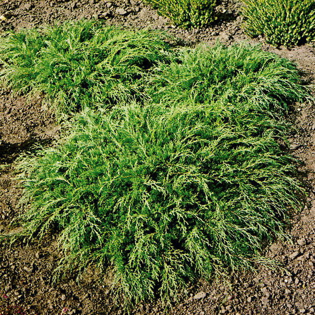 Småbiota, Høyde 65 cm, Grønn