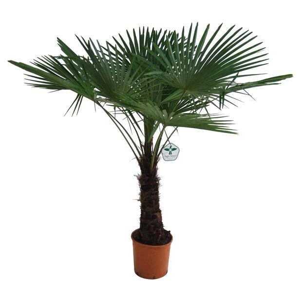 Vindmøllepalme, Grønn